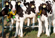 Calves up to 90 days in the grassy field for walking
