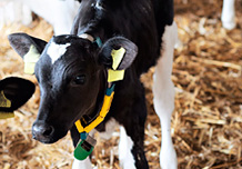 Calf with responder